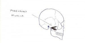 pterygoid sketch